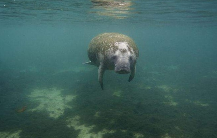 It's a perilous time for Florida manatees.